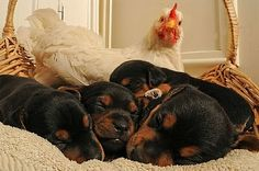 The Chicken and Her Rottweiler Puppies..