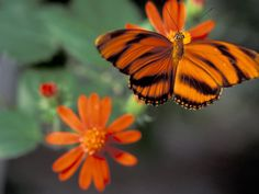 Acraea at Butterfly World, Florida, USA Photographic Print by Michele Westmorland at Art.com