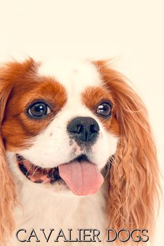 Cavalier King Charles Spaniels are known to be exceptionally intelligent and also have a superb recall, making them a terrific buddy for many households as well as people. Cavalier King Charles Spaniels are additionally extremely active and energetic, so they need a great deal of workouts and will need to be tackled normal strolls. Read Through This Article To Locate Great Dog Ownership Advice Adopting your dog a very good idea. They can make perfect pets and therefore are incredibly loving. To