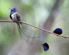 ..... Spatuletail Hummingbird ..