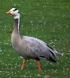 Bar-headed Goose (Anser indicus) Central Asia and India