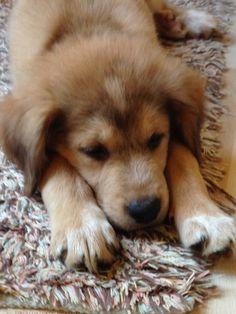 Lab/husky/German shepherd/Australian shepherd mix ADORABLE. Shamelessly putting my puppy on Pinterest