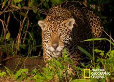 O Pantanal brasileiro torna-se território de grandes felinos. Brasil Secreto, Pantanal. #NatGeo http://www.natgeo.com.br/pantanal
