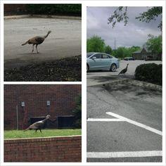 Tom Turkey on the loose at my job.