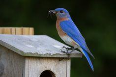 Eastern Bluebird With Cricket