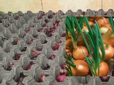 Půda není nutná, vezměte si jen karton od vajec: Toto je geniální způsob, jak celoročně pěstovat cibuli v bytě! Hydroponics, Vegetable Garden, Gardening Tips, Diy Home Decor, Fruit, Vegetables, Nature, Terrarium, Ornamental Plants