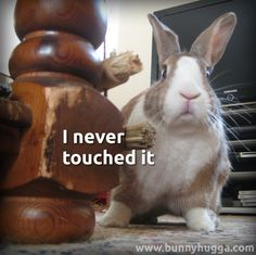 The house rabbit motto: innocent until proven innocent...
