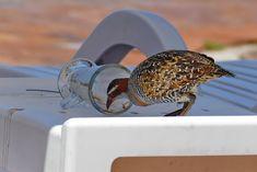 Bis zum letzten Schluck... Manchmal sind die Vögel auf Heron Island auch etwas frech und gar nicht scheu Great Barrier Reef, Island, Heron, Bird Feeders, Outdoor Decor, Herons, Islands, Teacup Bird Feeders