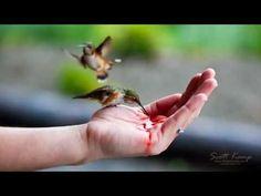 Hand feeding Hummingbirds