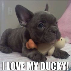 french bull dog. my two loves in one!