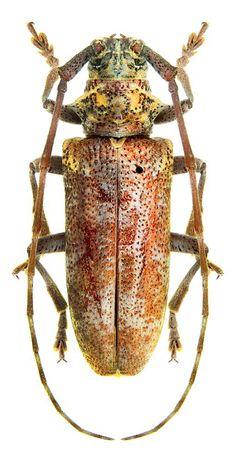 Murzinia karatauensis