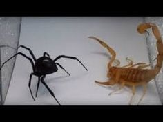 black widow vs scorpion who wins? Scorpion, Black Widow, Amazing, Scorpio