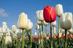 Vörös tulipán és fehér tulipánok a WJ Kok-tól