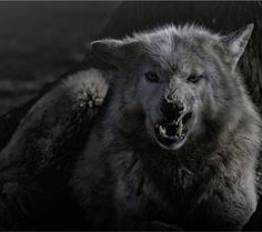 Angry Grey Wolf - Tap to see more about wolf wallpaper! @mobile9