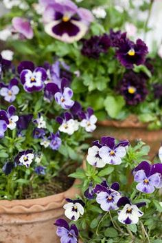 Purple potted pansies