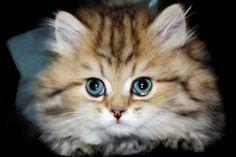 Golden Chinchilla kitten