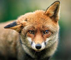 fox portrait by Vladimir Spirov on 500px