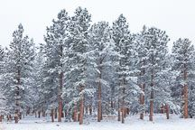 colorado pine in winter - Google Search