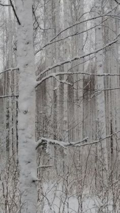 A white forest
