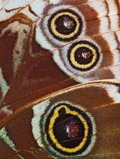 Close-up of Spots on Blue Morpho Butterfly Wing Photographic Print by Adam Jones at Art.com