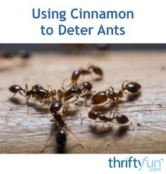 This is a guide about using cinnamon to deter ants. A common spice that can help keep ants from invading your kitchen.
