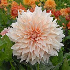 Dahlia 'Cafe au Lait' - Die Dahlie mit den wahrscheinlich größten Blüten. Pflanzzeit für die wunderschöne Sommerblume ist im Frühling (als Knolle). Online erhältlich bei www.fluwel.de