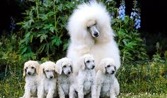 Everything you want to know about Poodles including grooming, training, health problems, history, adoption, finding good breeder and more.