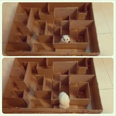 Hamster caught cheating at maze. Resembles some people I know! Lol.