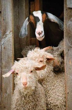 Happy Sheep & Goat on the Farm