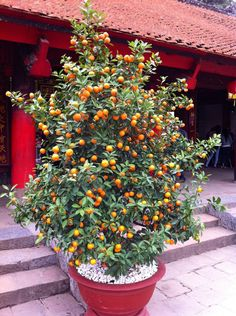 Golden sweet apricot tree in large pot