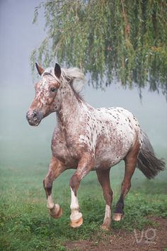 This looks a lot like my appy gelding Specks from a long time ago!  Pretty little spooky thing! : )