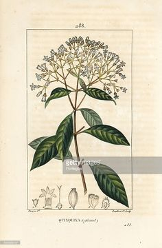 Quinine or Peruvian bark tree, Cinchona officinalis, with flower, branch, leaf and seed. Handcoloured stipple copperplate engraving by Lambert Junior from a drawing by Pierre Jean-Francois Turpin from Chaumeton, Poiret and Chamberet's La Flore Medicale. Paris, Panckoucke, 1830. Turpin (1775~1840) was one of the three giants of French botanical art of the era alongside Pierre Joseph Redoute and Pancrace Bessa.