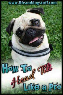 How To Head Tilt Like A Pro Dog Tips Dog Clicker Training Dog