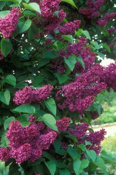 Sensation lilac (Syringa vulgaris ' Sensation') is a fast-growing shrub that bears spikes of single lavender flowers edged in white that shine from a distance. Description from pinterest.com. I searched for this on bing.com/images