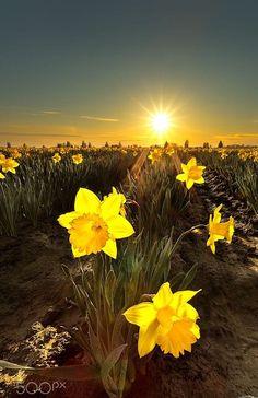 Daffodil Field sunrise | nature | | sunrise | | sunset | #nature https://biopop.com/