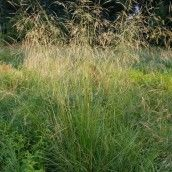Deschampsia cespitosa - Ruwe smele - De Tuinen van Appeltern