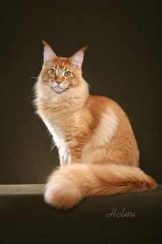 Maine Coon: Cats et cetera from Helmi Flick: April 2010 http://www.mainecoonguide.com/male-vs-female-maine-coons/