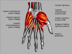 Mięśnie - ręki - palce - śródręcze - obręczy - barkowej - kończyny - górnej - anatomia
