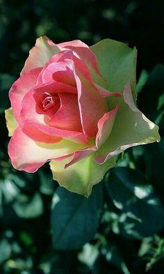Pink Green Rose