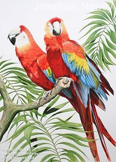 Scarlet Macaws by Jonathan Newey Pencil ~ 23 inches x 16.5 inches