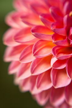 The close up beauty of Dahlia's
