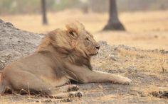 Xanda the Lion in Hwange National Park