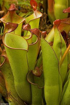 International Carnivorous Plant Society  Sun Pitcher   South American