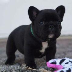French Bulldog #Puppy.
