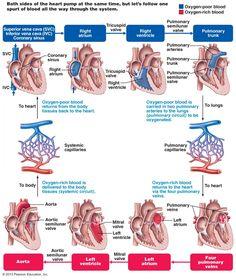 The Cardiovascular System | BIOL 141