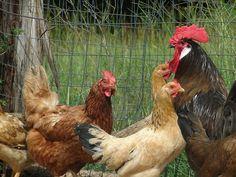 Secrets To Predator-Proofing Your Chicken Coop