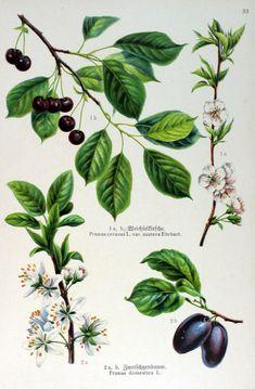 Toomingas. Prunus cerasus var. austera; Prunus domestica, gravure fr.Prunier