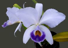 Pretty Blue Cattleya,its so unbelievable how many colours in the Cattleyas.