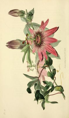 Passiflora caerulea x racemosa cv. racemosa - circa 1826