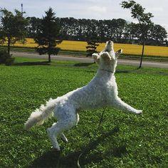 ぴよ➰ん 頑張るボールキャッチ #天気#良いので#外で#ボールあそび #ハッスル#走る#飛ぶ#キャッチ#ゴールデンドゥードル #ポチ#愛犬#犬#いぬのいる暮らし#いぬのいる生活#フワモコ#いぬばか部 #北海道#秋 #goldendoodle #pochi#ilovemydog #neture #dog#dogsofinsta #instadog #cute#love #hokkaido